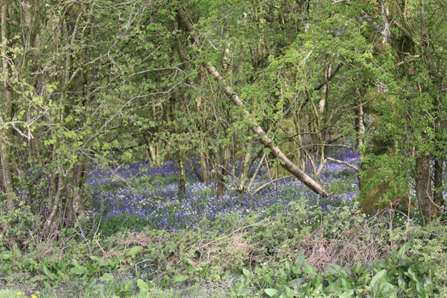 The English Bluebell surrounding our gallops